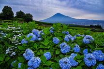 岩本山の茶畑にあるあじさいと富士山の風景