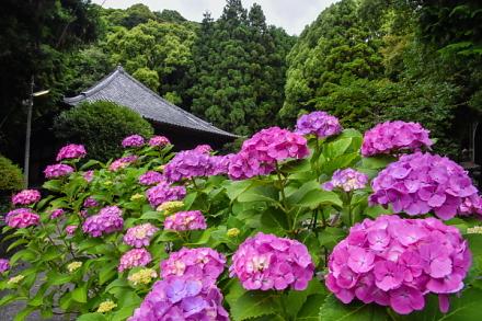 実相寺祖師堂とあじさいの風景