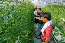 トマトの栽培風景を見学