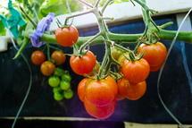 美味しいトマトが実る