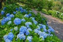 園路沿いに咲くあじさい