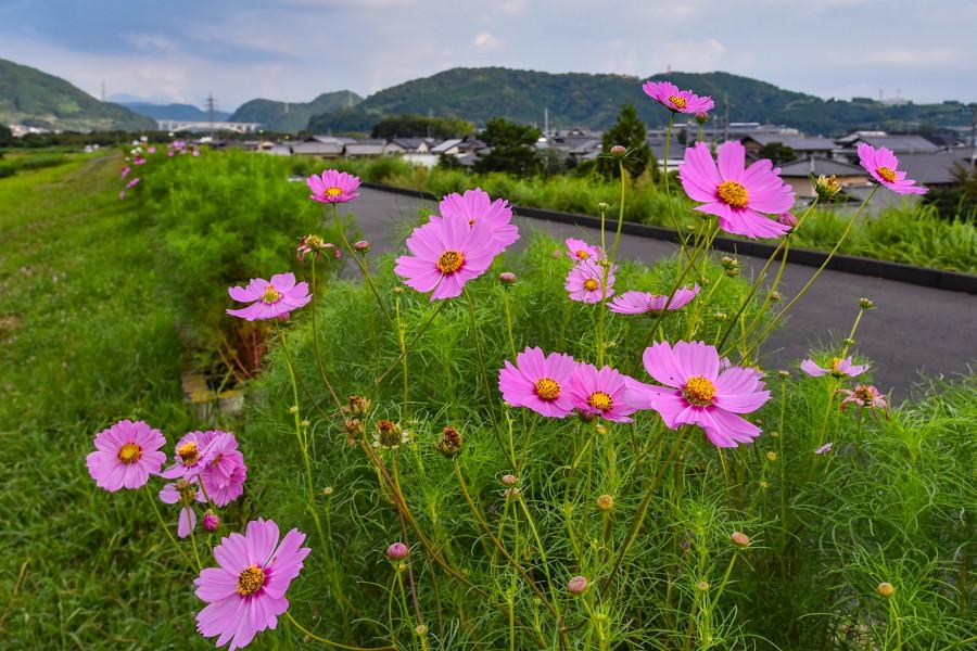 咲き始めた雁堤のコスモス