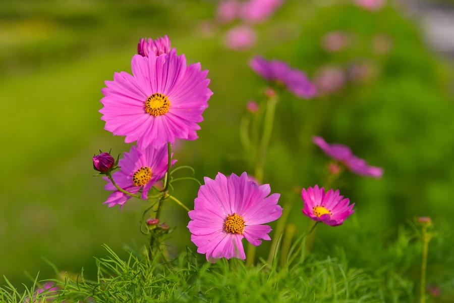 咲き始めたコスモスのアップ