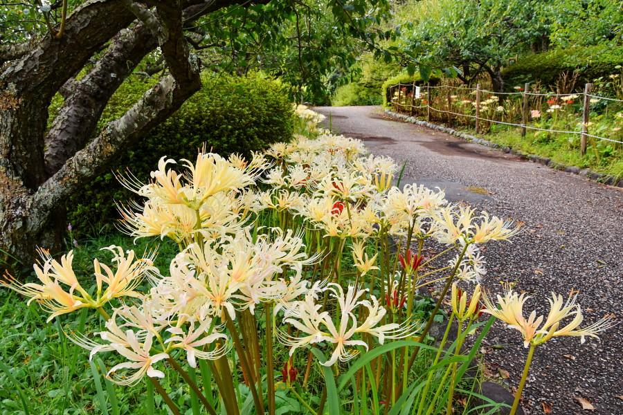 見頃を迎えた岩本山公園の彼岸花