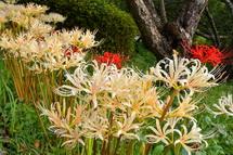 白い彼岸花を中心に咲き誇る