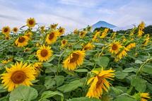 咲き誇るひまわり越しに見る富士山