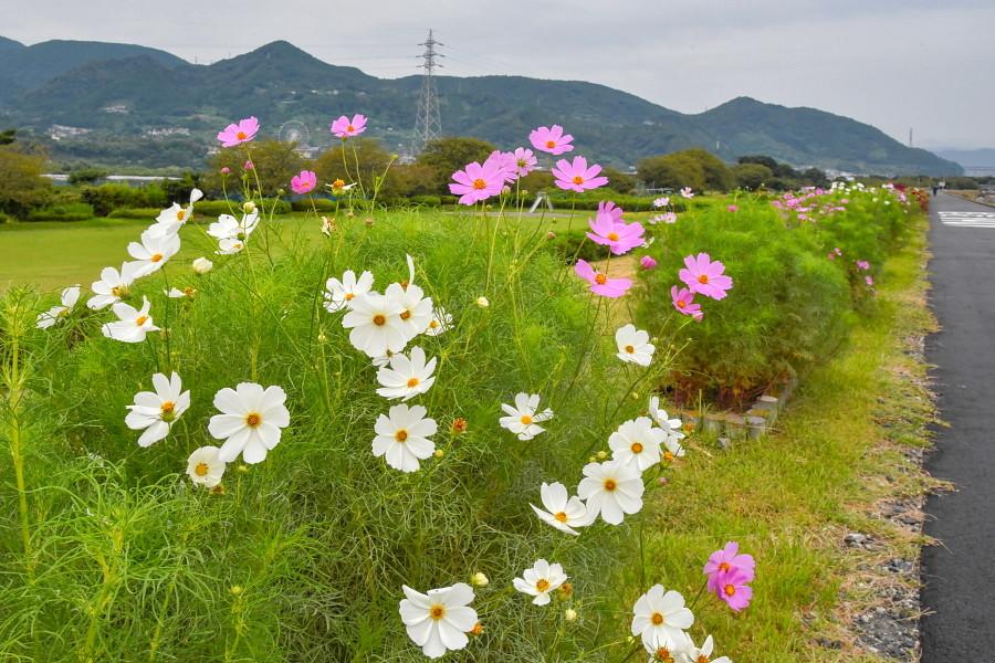 徐々に開花が進む雁堤のコスモス