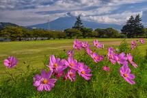 台風被害はほとんどなく徐々に開花が進む雁堤のコスモス
