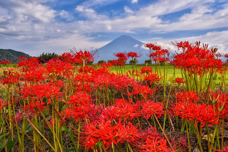 見頃を迎えた彼岸花と富士山の風景