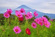 開花が進む雁堤のコスモスと富士山の風景