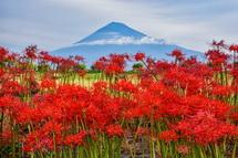 彼岸花と富士山の風景