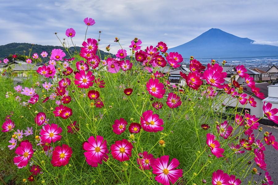 見頃を迎えた雁堤のコスモスと富士山の風景