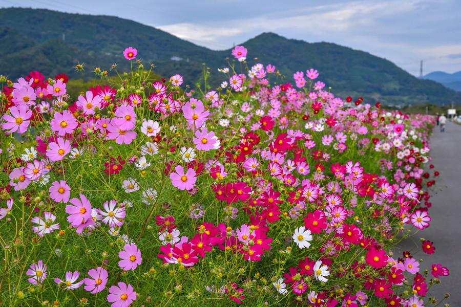 咲き誇る雁堤のコスモス