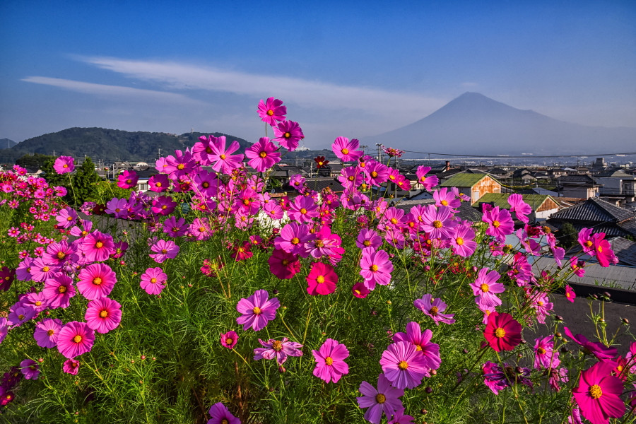 咲き誇るコスモスと富士山