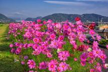咲き誇るコスモスを存分に楽しめる