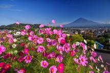 まだまだ見頃のコスモスと富士山の風景