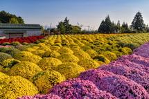 今宮ふれあい公園近くの畑のぼさ菊