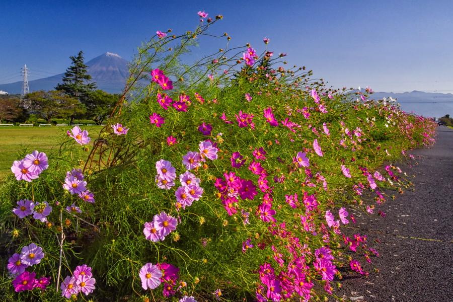 暴風に耐えて残った花と冠雪富士山の風景