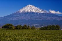 岩本山丘陵地の茶畑からの富士山