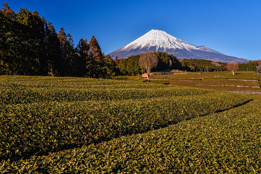 大淵笹場からの茶畑と富士山の風景