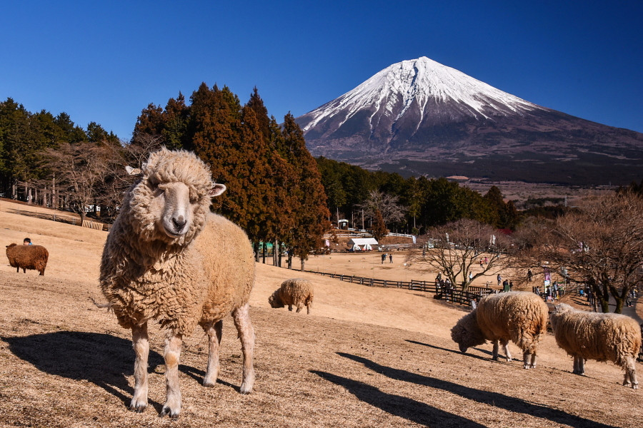富士山と羊の風景
