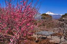 早咲き梅と富士山の風景