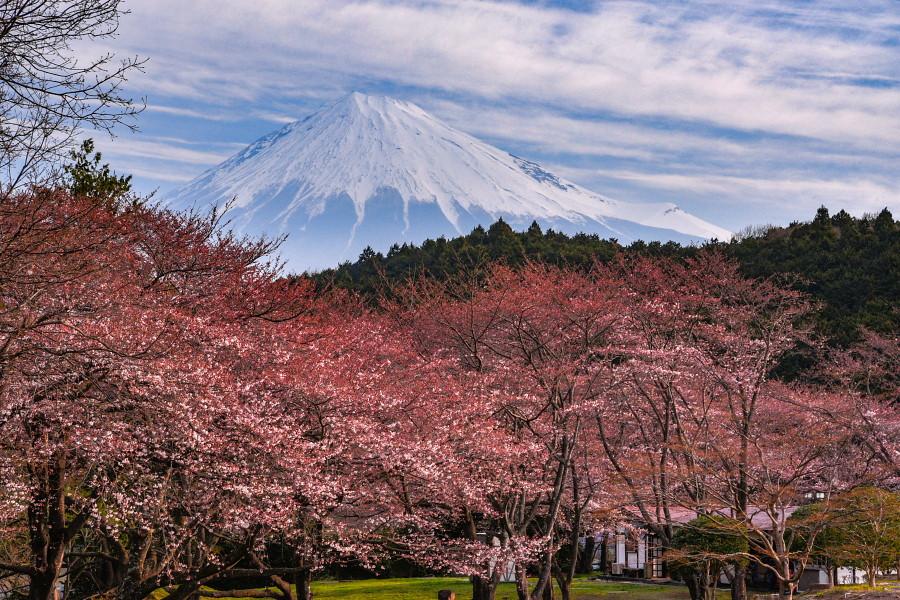 岩本山公園の桜