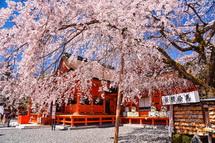 富士山本宮浅間大社のしだれ桜