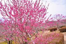 徐々に開花が進む梅園の風景