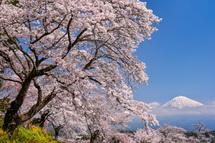 興徳寺の桜