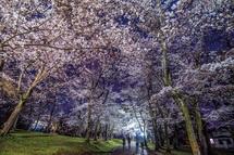 広見公園の夜桜