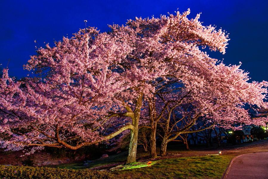 岩本山公園の夜桜
