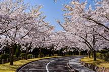 富士市森林墓園の桜