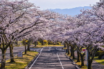富士桜自然墓地公園の桜