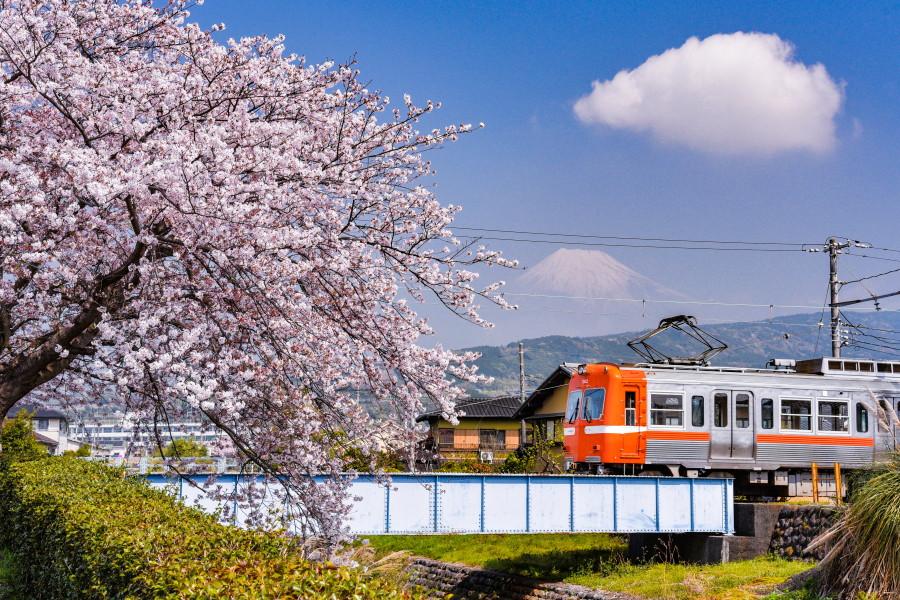須津川沿いの桜と岳南電車・富士山の風景