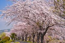 咲き誇る須津川沿いの桜