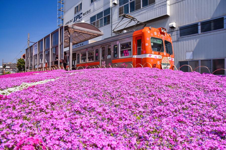 芝桜咲き誇るジヤトコ前駅
