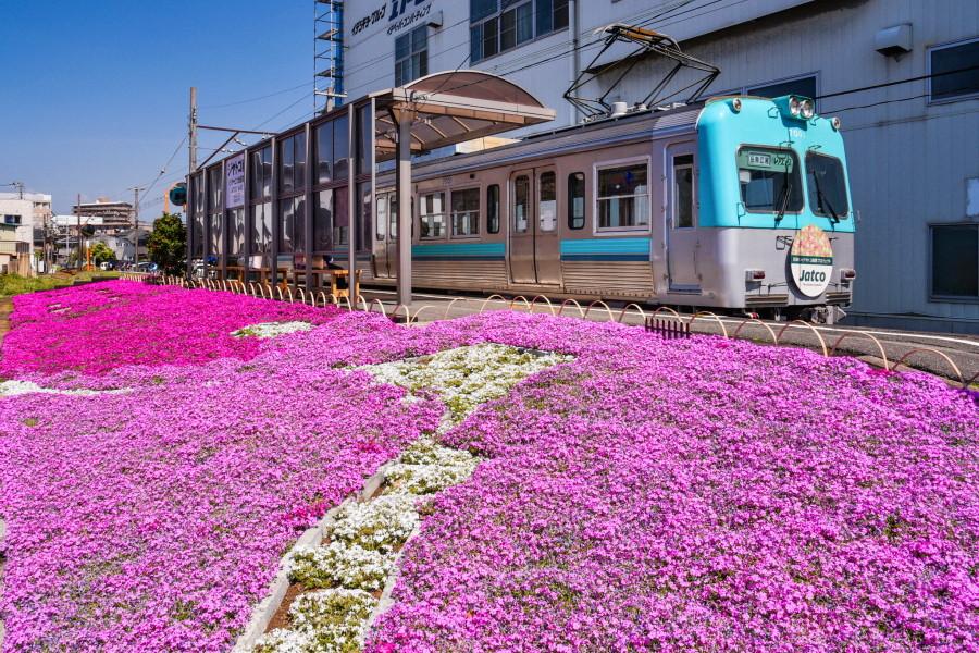 富士山が描かれた芝桜植栽エリアと電車の風景