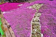 白い芝桜で富士山を表現