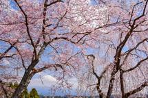 咲き誇る境内の桜