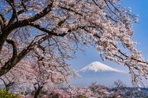 興徳寺の桜と富士山の風景