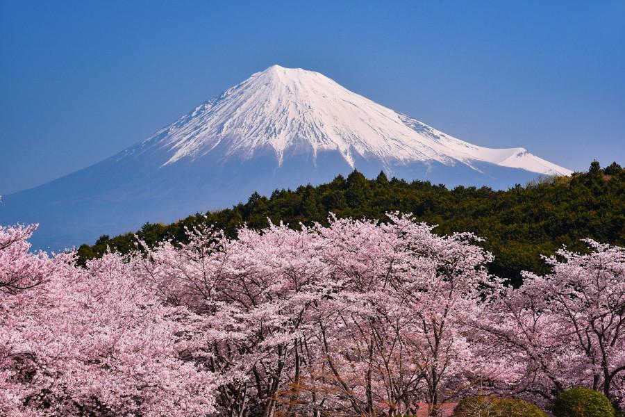 満開の桜と富士山の風景