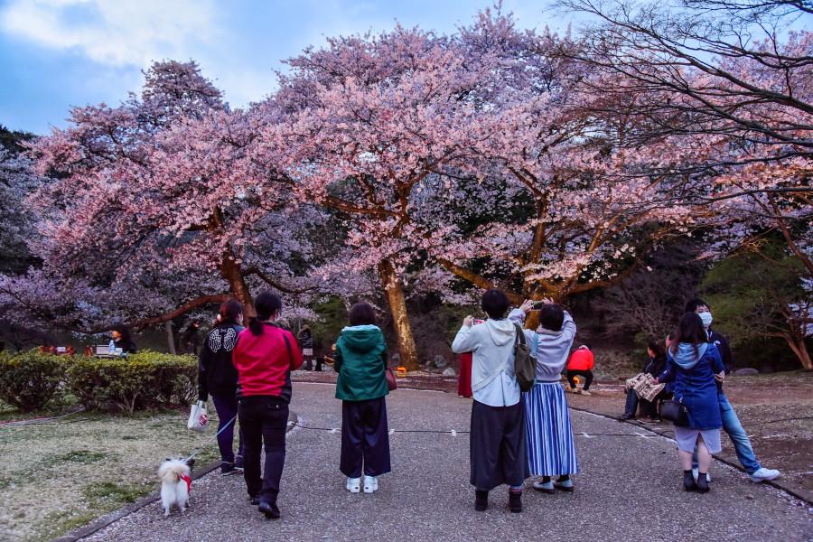 夜桜プレミアムライトアップ開催の岩本山公園