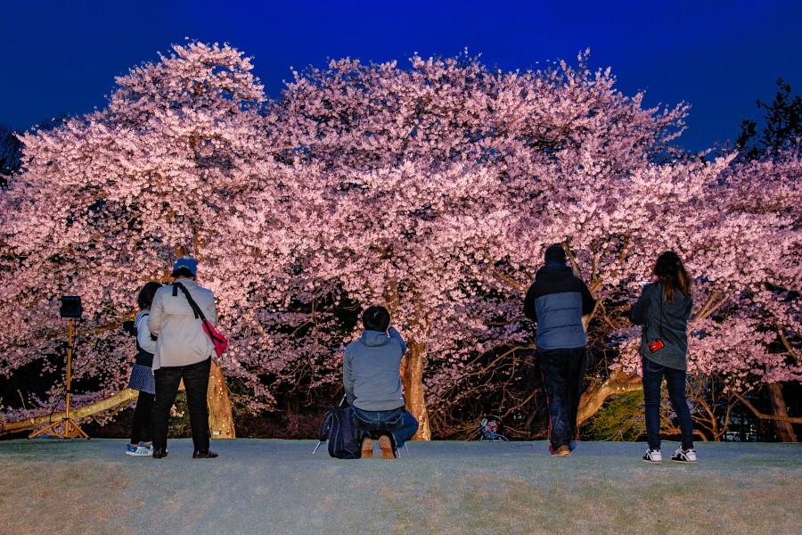 ライトアップされた桜を楽しむ人たち