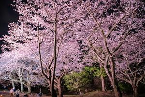 幻想的な夜桜を満喫
