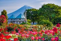 見頃を迎えた富士市中央公園のバラ
