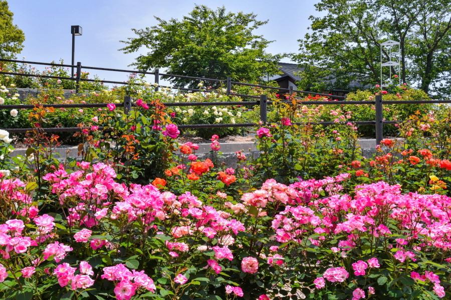見頃を迎えた岩本山公園バラ植栽エリア