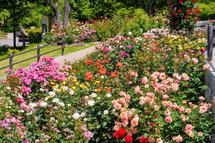 色とりどりのバラが咲き誇る