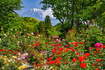 一部で富士山をバックにバラの花を楽しめる