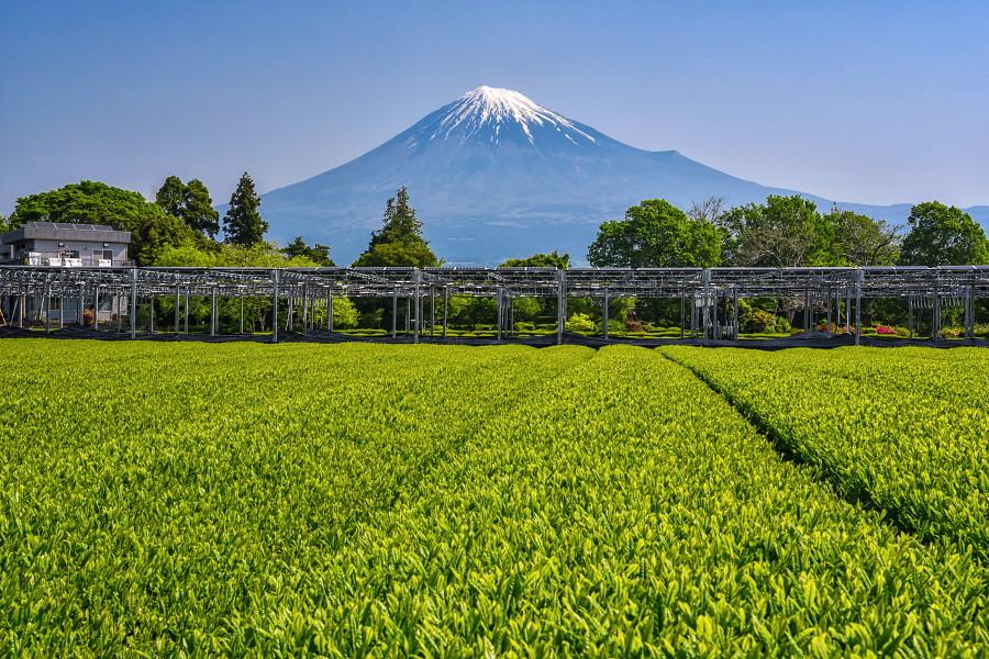 新茶と富士山の風景も楽しめた